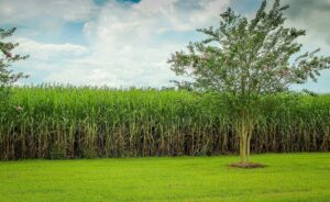 opportunities for Australian Sugar farmers