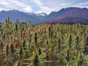 Cannabis oil export from latam